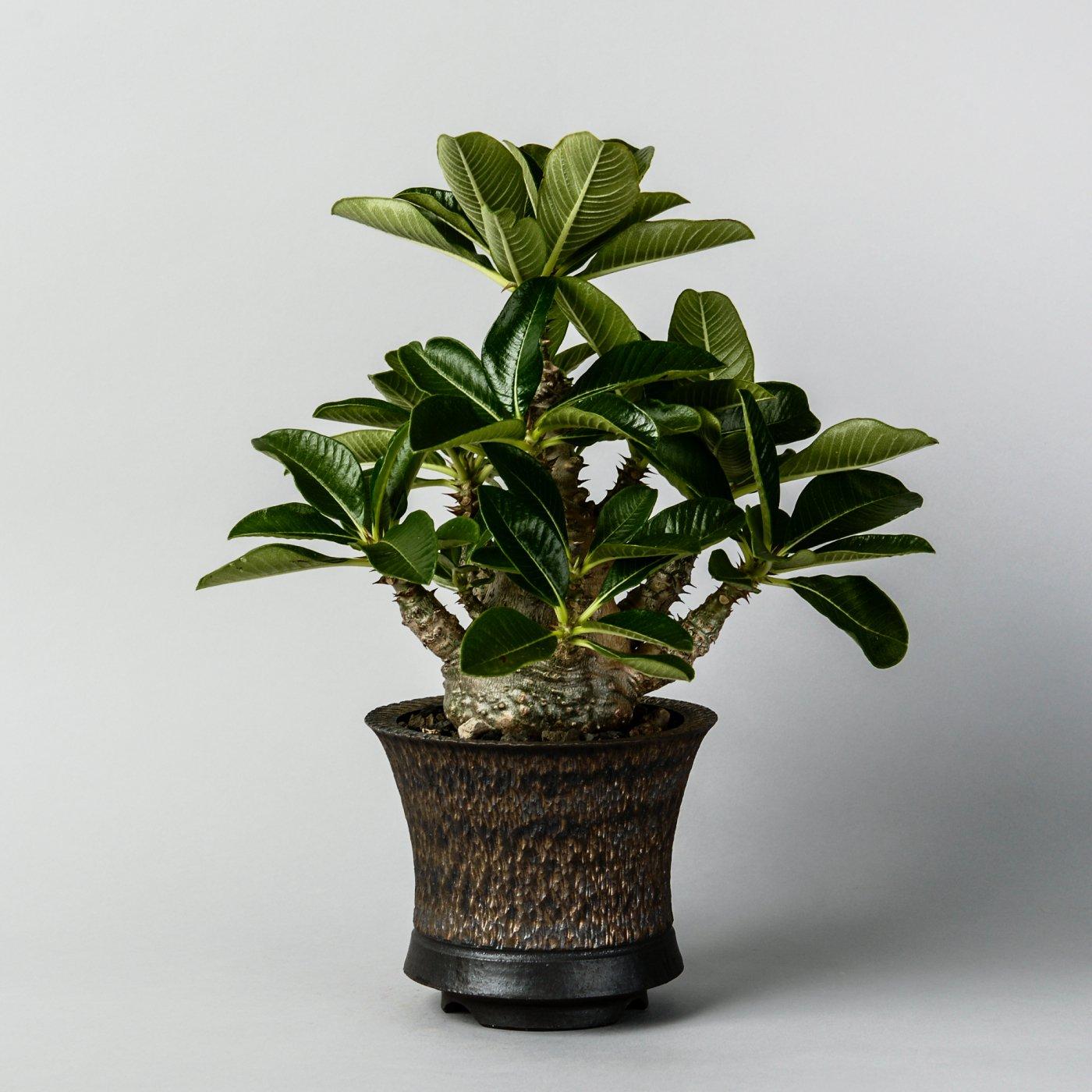 "Pachypodium baronii var. windsorii × ""GOUJIN""POT"