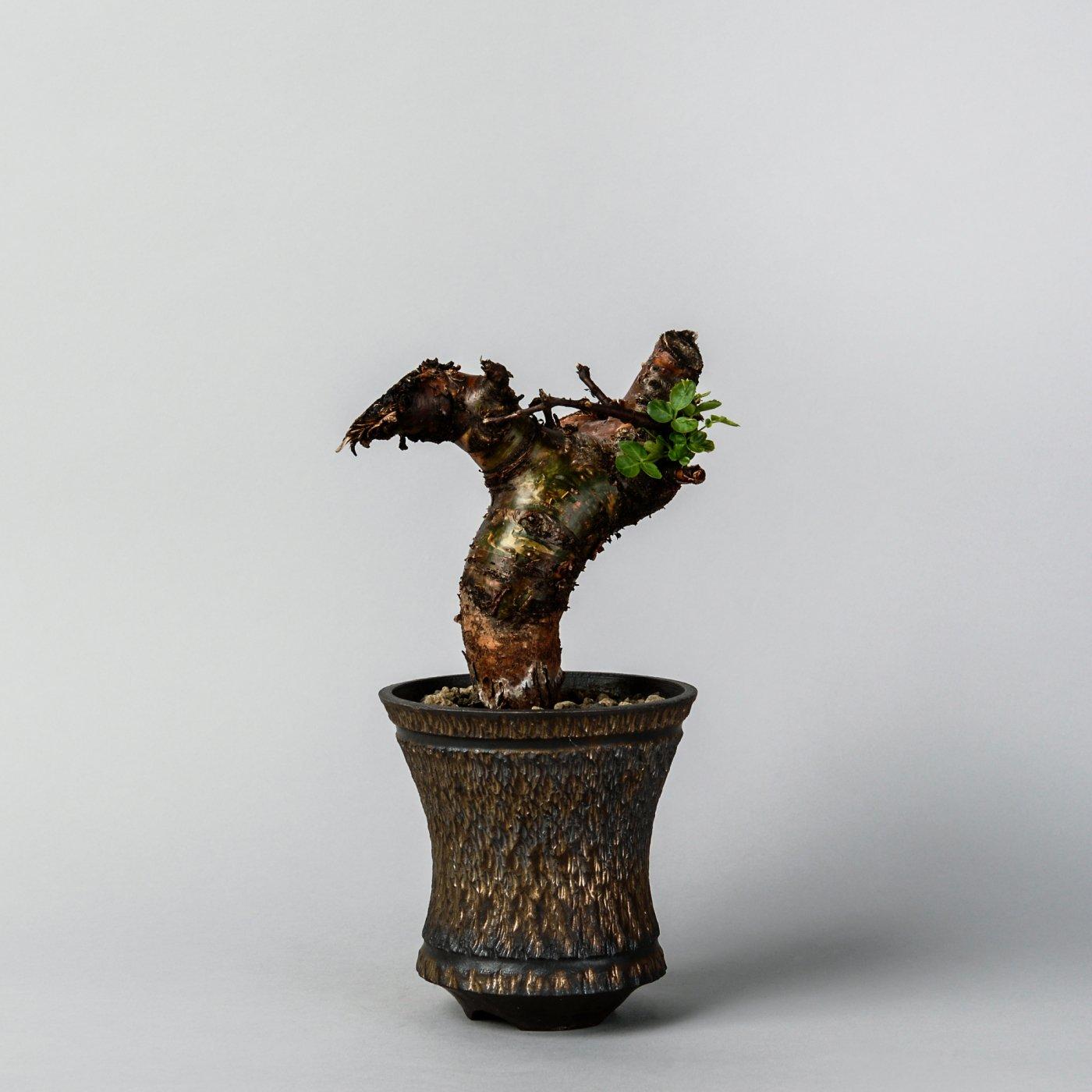 "Commiphora boranensis × ""GOUJIN""POT"