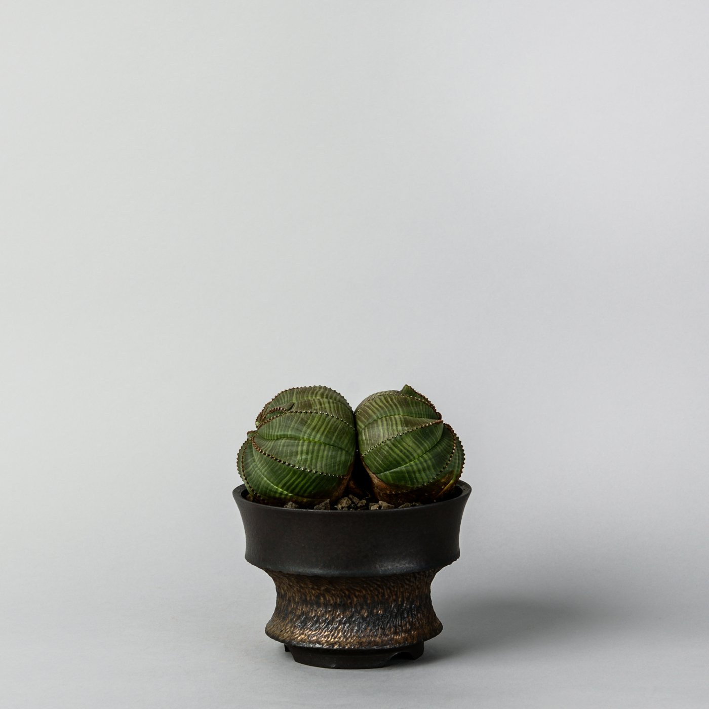 "Euphorbia obesa W × ""GOUJIN""POT"