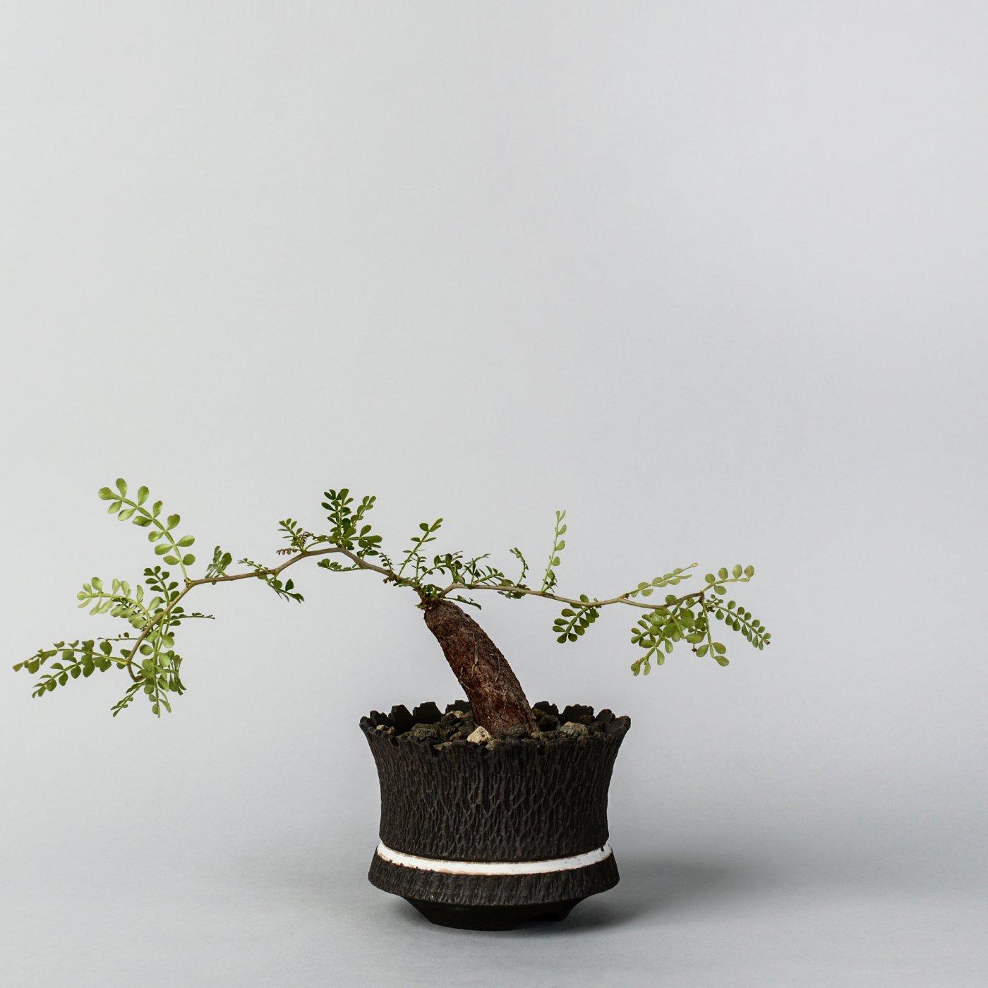 """Operculicarya pachypus 根挿し × """"GOUJIN AK LINE""""POT"""