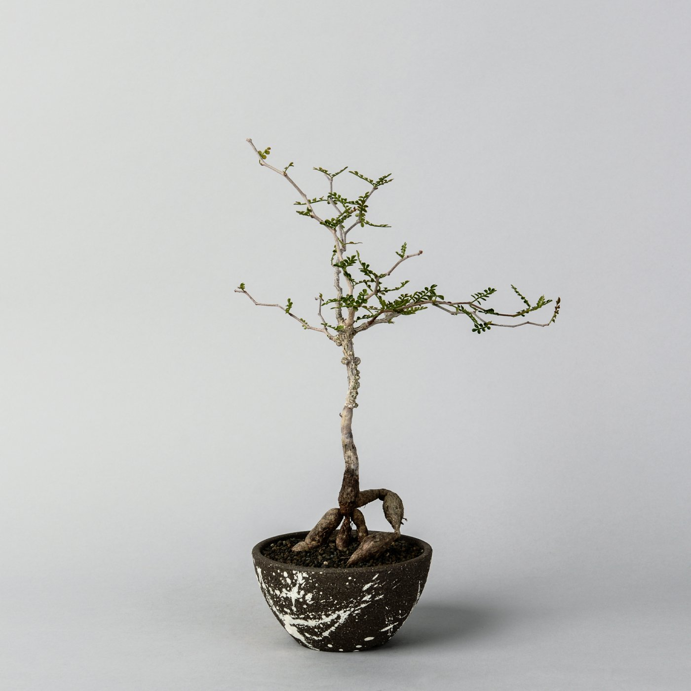 Operculicarya pachypus  × NO NAME POT