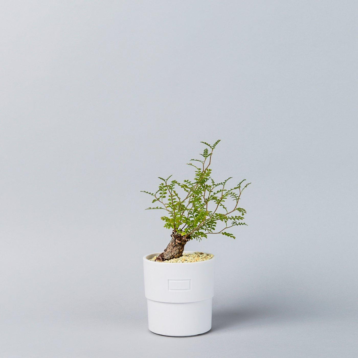Operculicarya pachypus 根挿し × Plastic POT