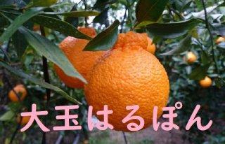 超完熟春ハウス大玉はるぽん (大玉サイズ)