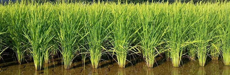 田野のおいしいお米
