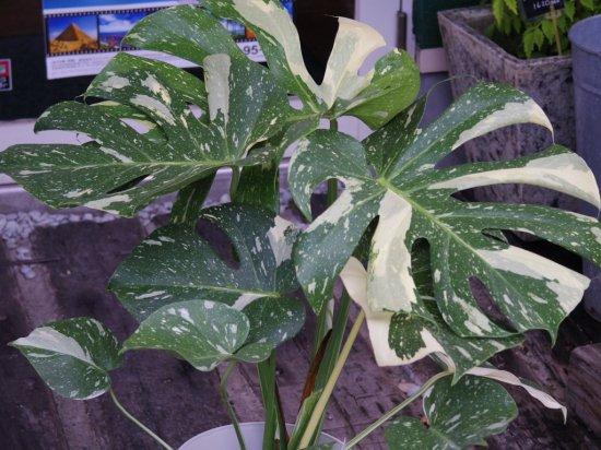 モンステラ 南国っぽくて大人気の観葉植物!モンステラの育て方