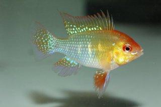 ドイツゴールデンラミレジー L Pr 【熱帯魚・ラミレジィ】 熱帯魚 アピストグラマ ラミレジー