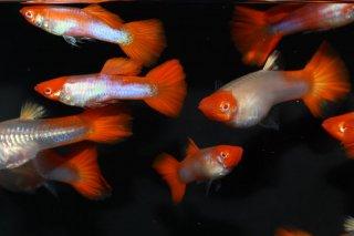 サンタクロースグッピー 2Pr  【熱帯魚 メダカ】