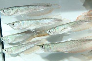 シルバーアロワナ SM 【古代魚・肉食魚】